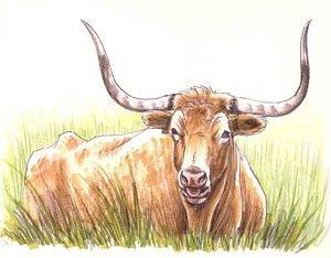 grass longhorn